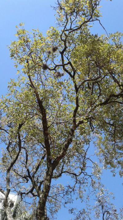 Árvores sufocadas por ervas daninhas